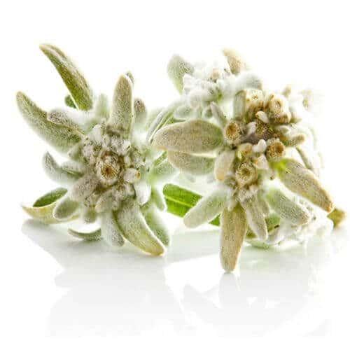 Edelweiss utilisée dans la cosmétique suisse