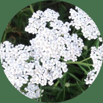 extrait de Millefeuille - Cosmétique suisse anti-âge et anti-pollution
