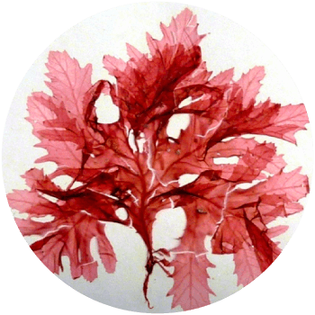 micro algues rouges - Cosmétique suisse anti-âge et anti-pollution
