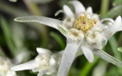 L'edelweiss : une plante de montagne aux bienfaits protecteurs